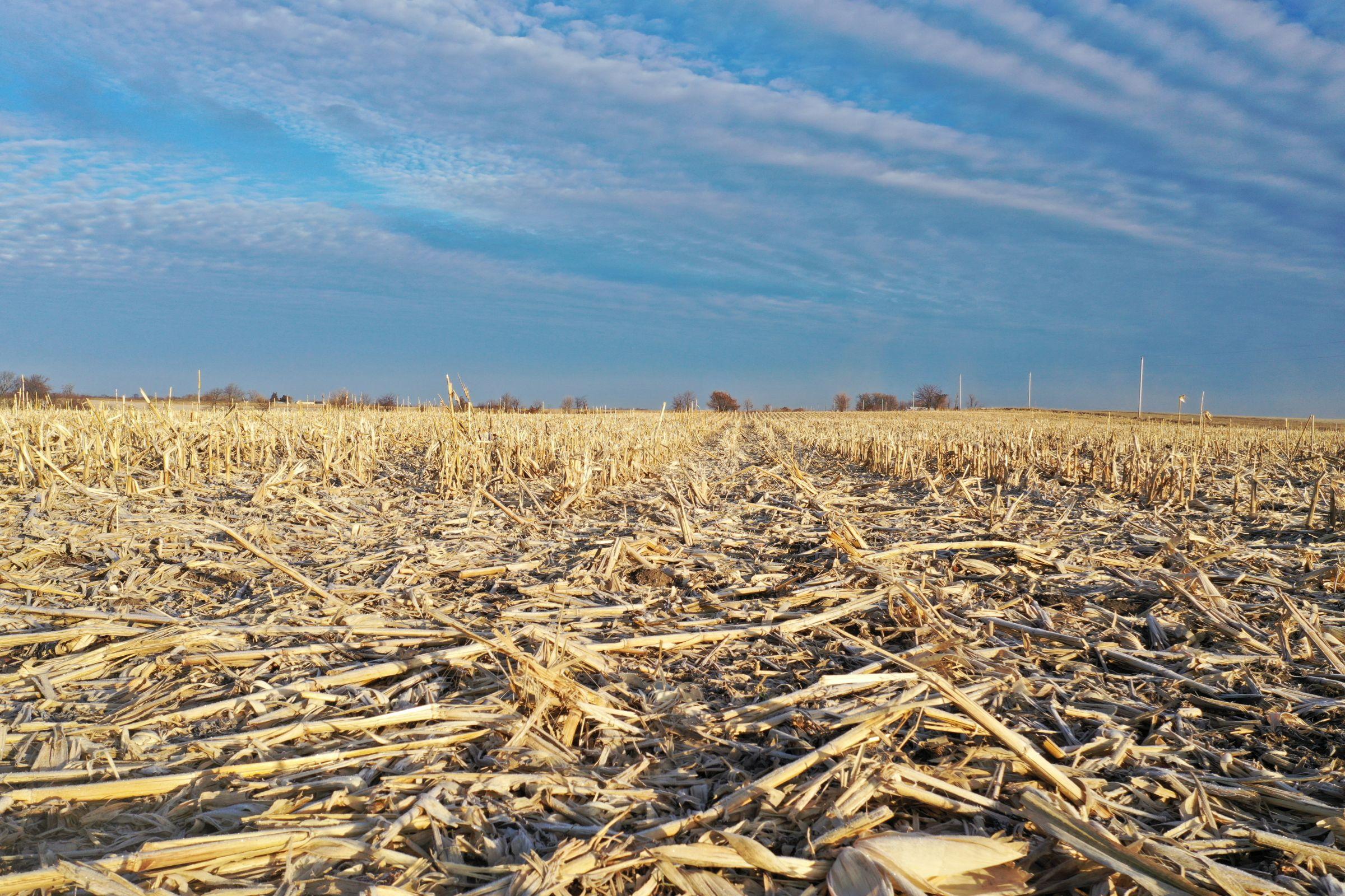 Corn4 - Fall