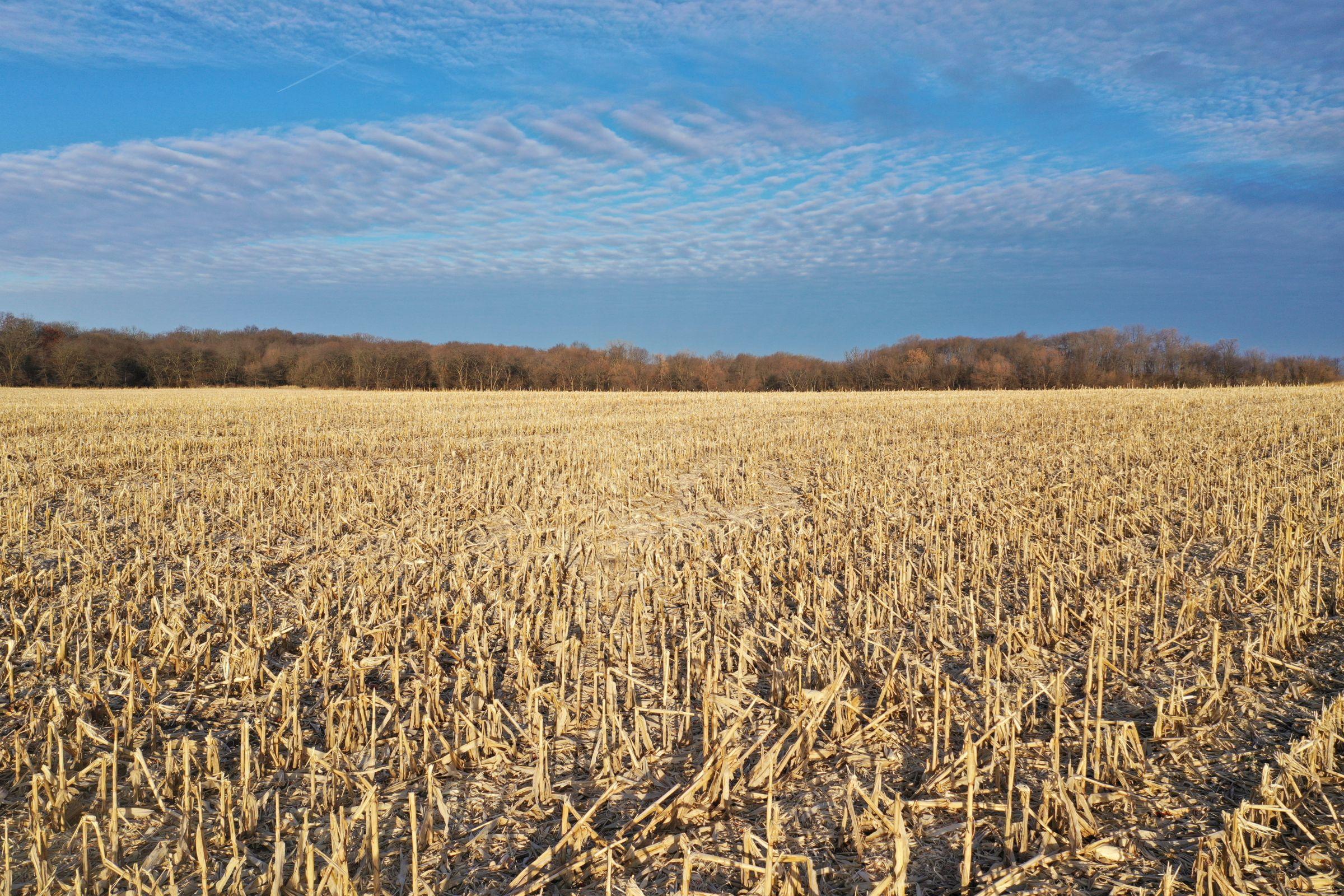 Corn5 - Fall