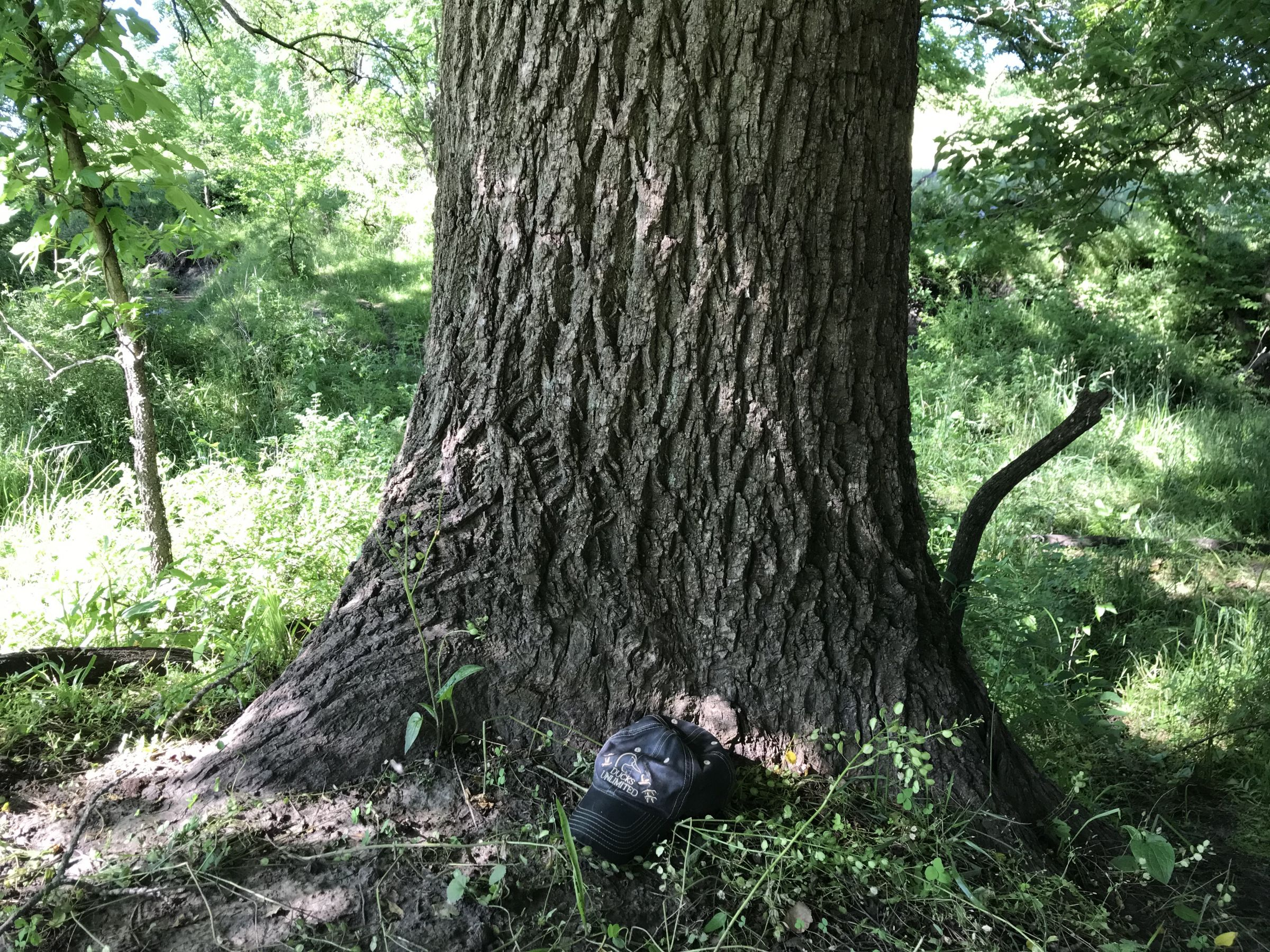 Huge walnut tree