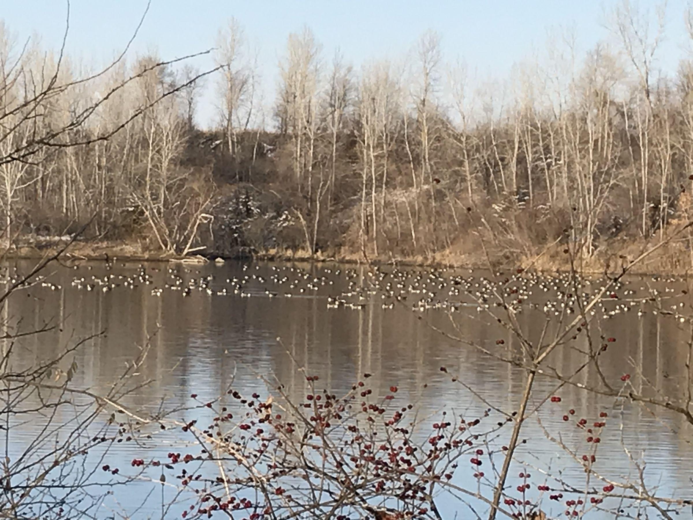East Huge Flock of Geese 1