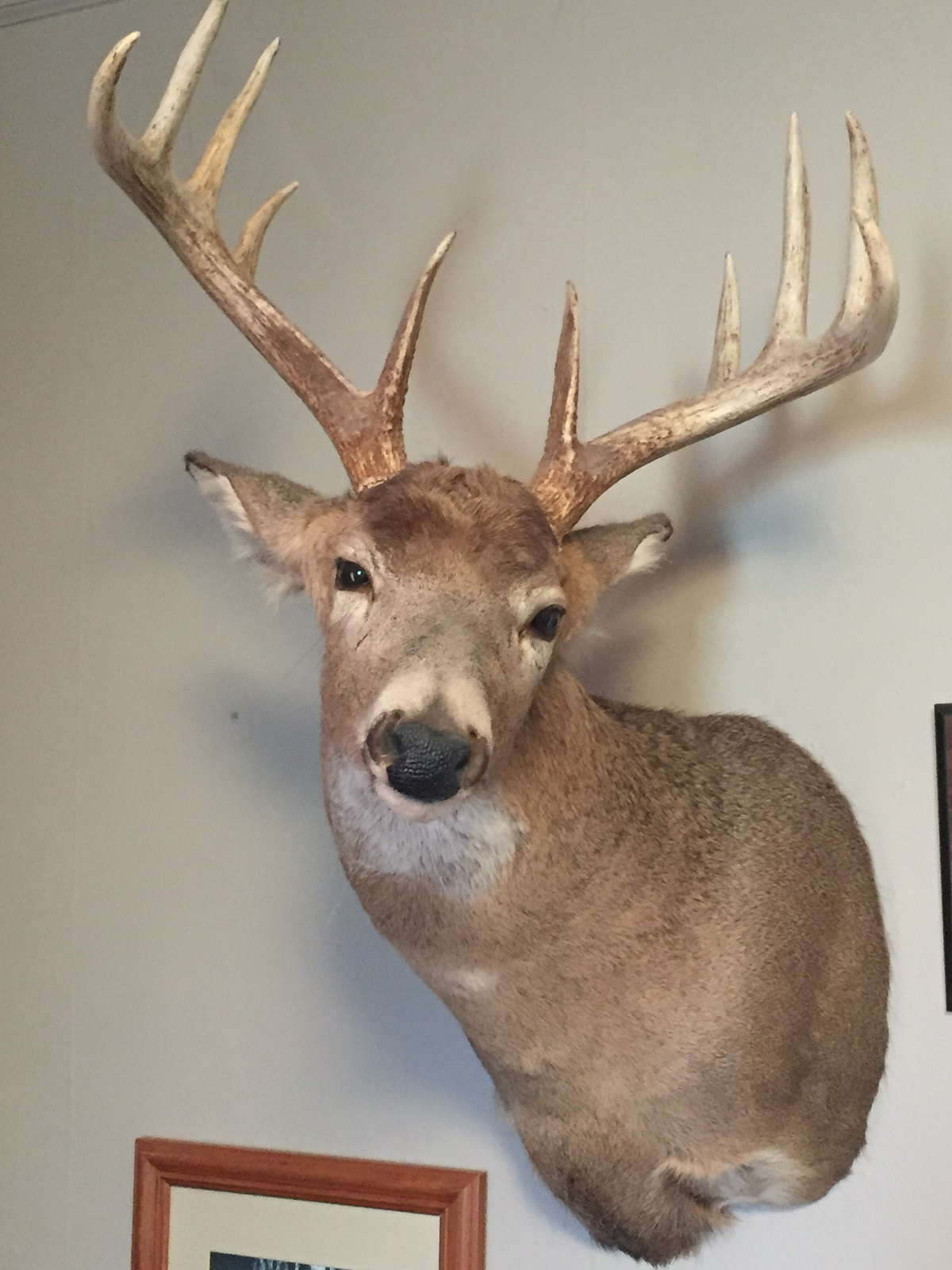 Deer mount pic 2